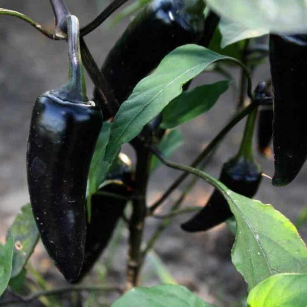 blackhungarian